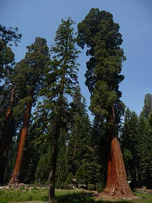 Sequoia National Park is a short hike from many natural Sequoia Tree groves.